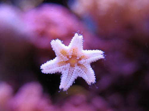 babystarfish